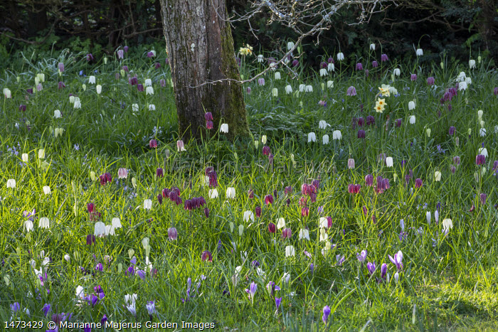 Fritillaria meleagris naturalised in lawn with Crocus vernus in dappled shade