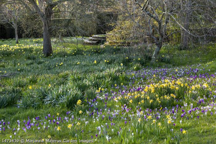 Crocus vernus and Narcissus pseudonarcissus naturalised in long grass