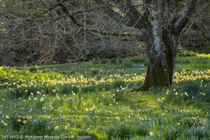 Crocus vernus, Fritillaria meleagris and Narcissus pseudonarcissus naturalised in long grass