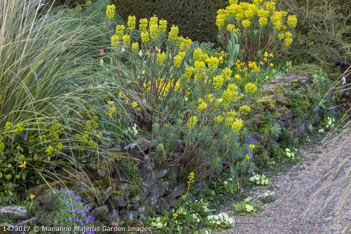 Euphorbia characias subsp wulfenii on stone wall, Primula vulgaris, Narcissus 'Jetfire', aubretia