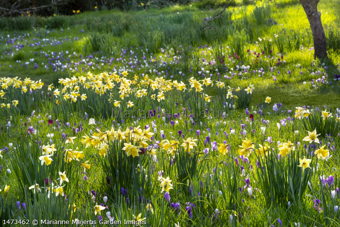 Carpet of Crocus vernus, Fritillaria meleagris and Narcissus pseudonarcissus naturalised in long grass