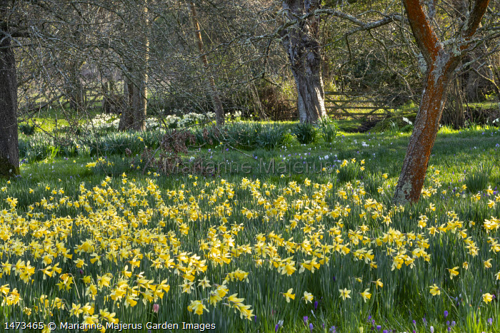 Crocus and narcissus naturalised in long grass, view to wooden gate, dappled shade