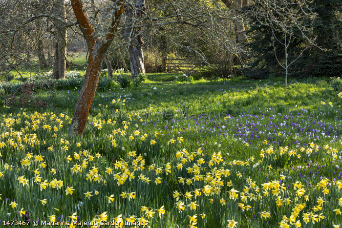 Crocus vernus and narcissus naturalised in long grass, view to wooden gate, dappled shade