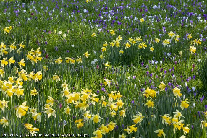 Narcissus pseudonarcissus and Fritillaria meleagris naturalised in lawn with Crocus vernus