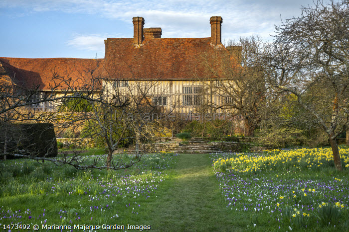 Grass path leading to house through meadow with naturalised Narcissus pseudonarcissus and Crocus vernus