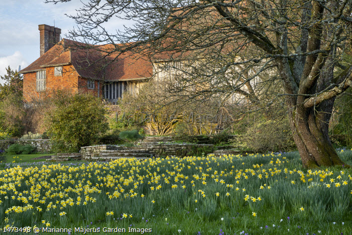 Drift of naturalised Narcissus pseudonarcissus under tree, view to house, Lutyens stone steps