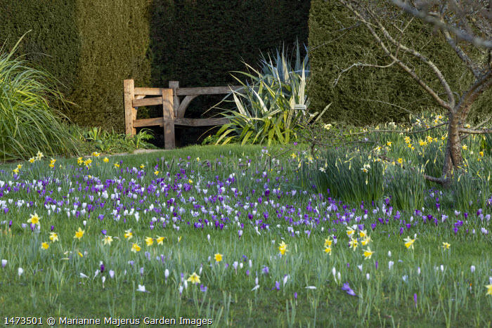 Crocus vernus and Narcissus pseudonarcissus naturalised in long grass, view to wooden bench in yew hedge niche