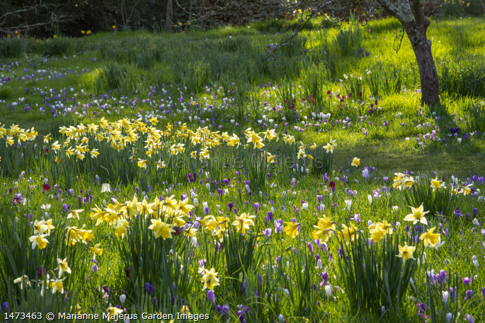 Crocus vernus, Fritillaria meleagris and narcissus naturalised in long grass, view to wooden gate, dappled shade