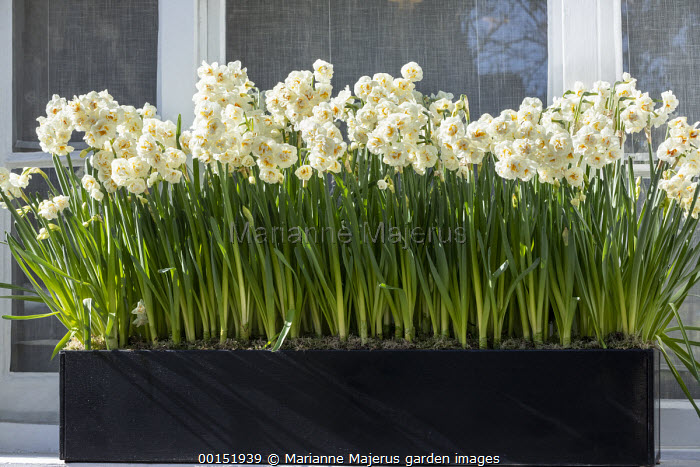 Narcissus 'Bridal Crown' in windowbox