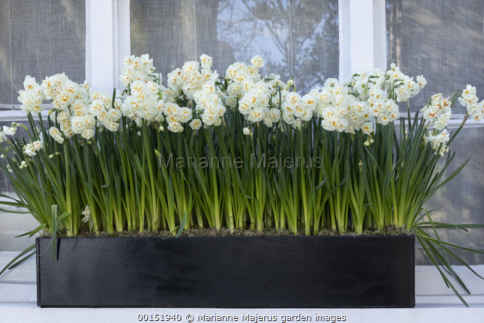 Narcissus 'Bridal Crown' in windowbox