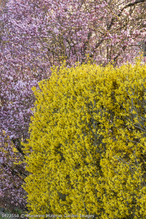 Forsythia x intermedia hedge