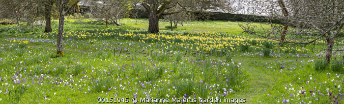 Crocus vernus and narcissus naturalised in long grass, mown grass path