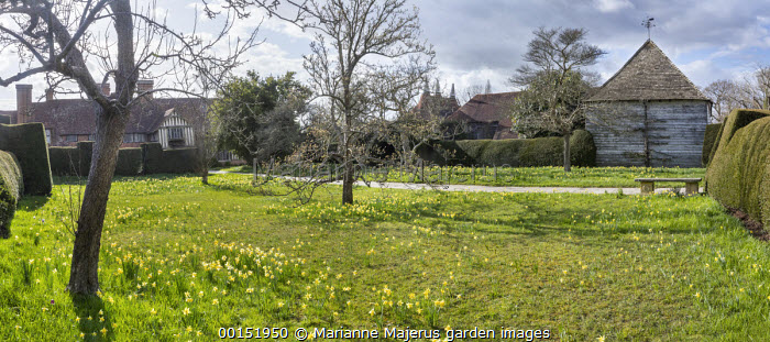 Narcissus pseudonarcissus naturalised in lawn, Yorkstone path leading to house, view to oasthouses