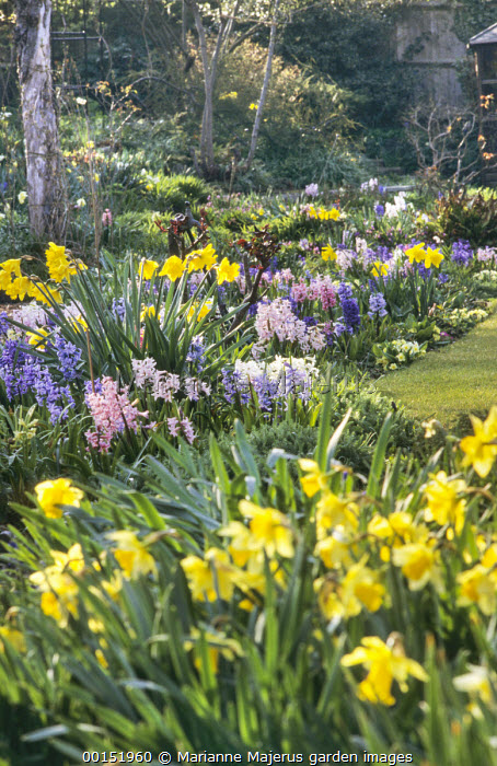 Narcissus and Hyacinthus orientalis in border