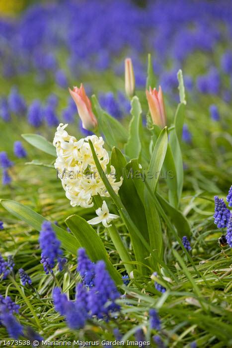 Hyacinthus orientalis, Muscari armeniacum, tulips