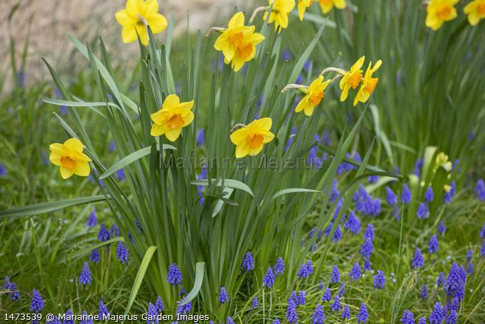 Narcissus with Muscari armeniacum