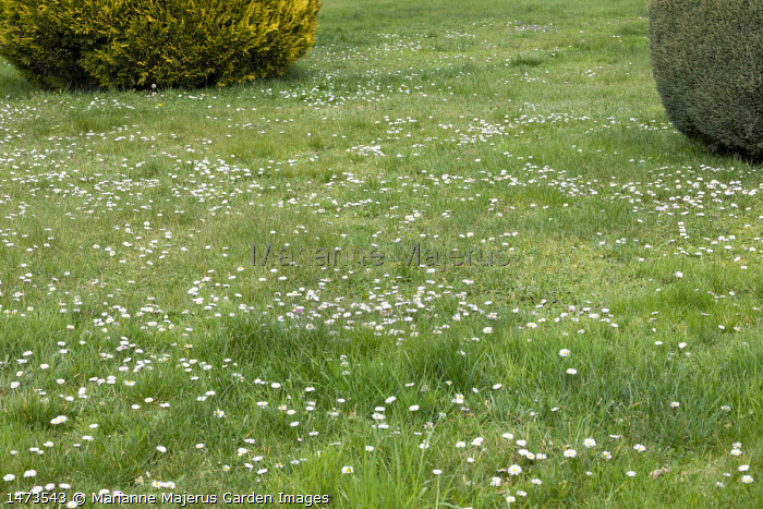 Daisies naturalised in long grass lawn