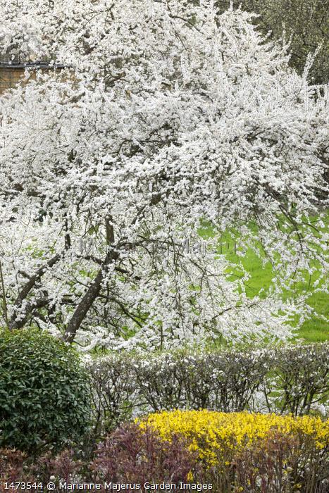 Prunus cerasifera blossom