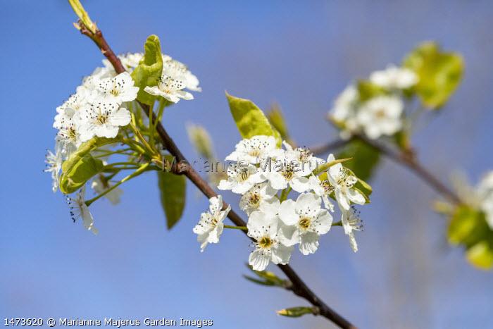 Pyrus calleryana 'Chanticleer' blossom