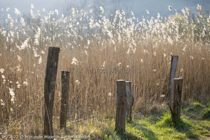 Reedbed in late winter, wooden posts