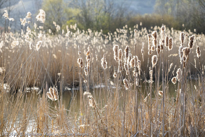 Reedbed in late winter