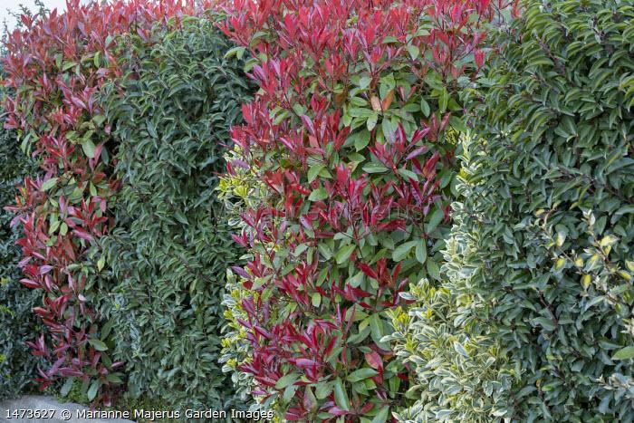 Mixed hedge, Photinia x fraseri 'Red Robin', Prunus lusitanica, euonymus