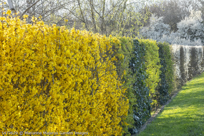 Forsythia x intermedia and Prunus spinosa mixed hedge
