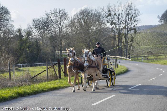Horses pulling cart along road, mistletoe in tree