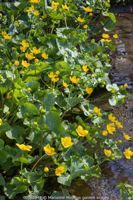 Caltha palustris by stream