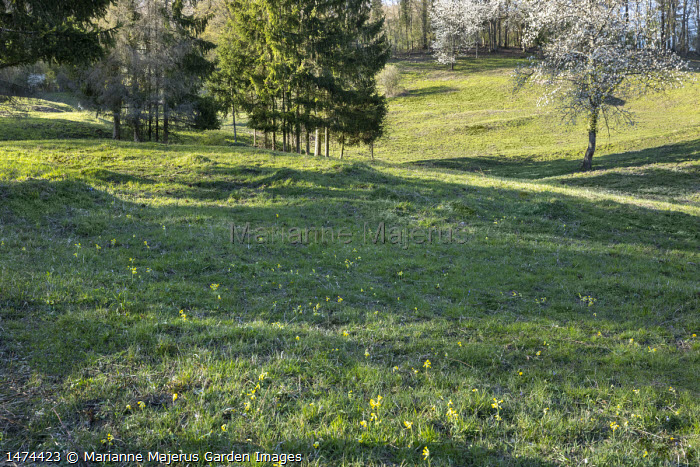 Primula veris in wild meadow