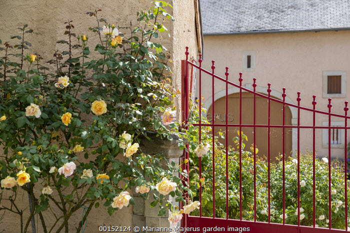 Rosa 'Madame A. Meilland' syn. 'Peace' against house wall, red metal gate and railing