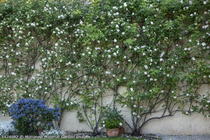 Rosa 'Madame Alfred Carrière' trained against wall, ceanothus