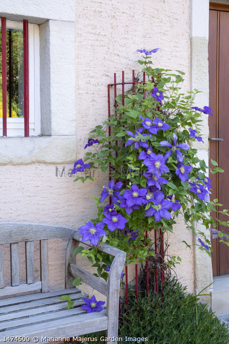 Clematis 'The President' climbing through red metal plant support on house wall, wooden bench