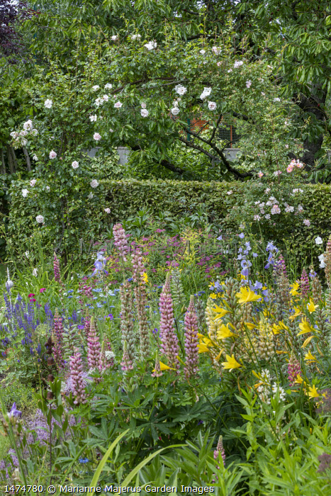 Lupins, hemerocallis, irises, salvia and nigella in cottage garden border, Rosa 'New Dawn' (Dreer 1930) arching over hedge and Rosa 'Open Arms' (Warner 1995)