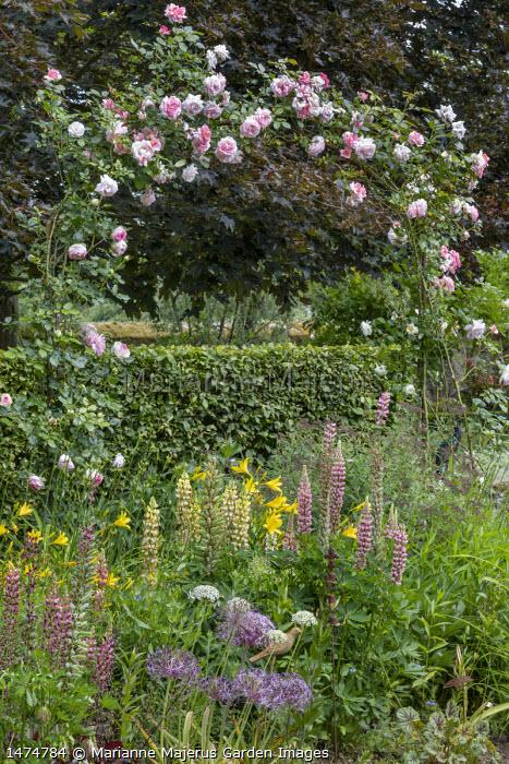 Rosa 'Sorbet' climbing over archway, lupins, hemerocallis, alliums