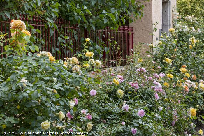 Rosa 'Michka', Rosa 'Molineux', Rosa 'Bonica', Rosa 'Leander', Rosa 'Ghislaine de Féligonde' (Turbat 1916), red metal railing fence