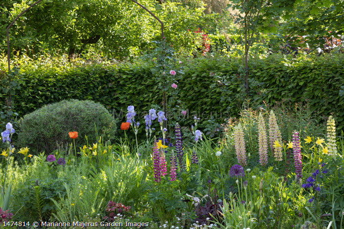 Roses climbing over archway, cottage garden border with hemerocallis, lupins, irises, alliums and papaver