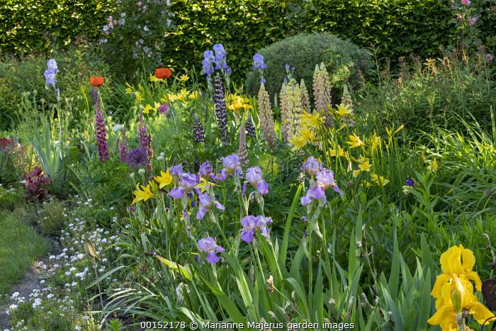 Cottage garden border with hemerocallis, lupins, irises, papaver and alliums