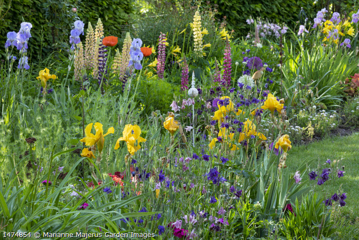 Irises, lupins, papaver, hemerocallis, Aquilegia vulgaris in cottage garden border