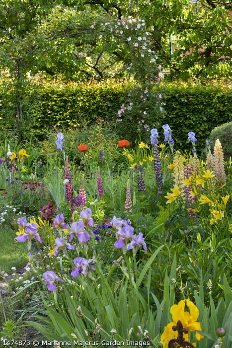 Rose climbing over archway, irises, lupins, papaver, hemerocallis in cottage garden border