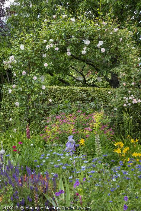 Spiraea japonica, hemerocallis, salvia, irises and nigella in cottage garden border, Rosa 'New Dawn' (Dreer 1930) arching over hedge and Rosa 'Open Arms' (Warner 1995)
