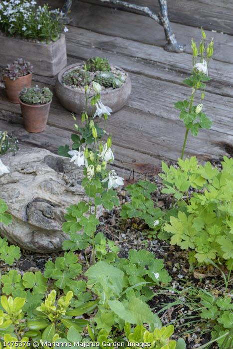 Aquilegia vulgaris, sempervivums in pots on reclaimed timber decking