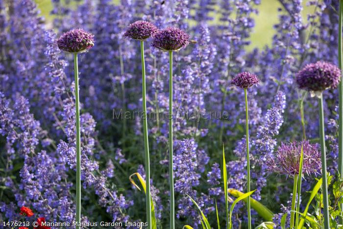 Nepeta racemosa 'Walker's Low', Allium hollandicum 'Purple Sensation'