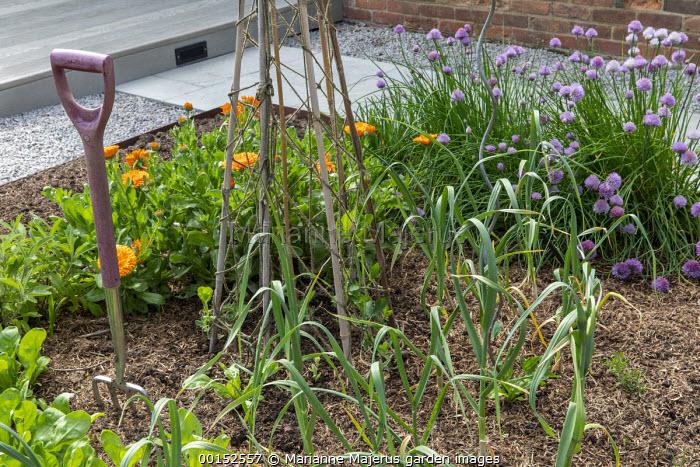 Allium schoenoprasum and Calendula officinalis in kitchen garden edged with Cor-Ten steel, fork