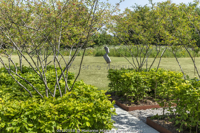 Multi-stemmed Amelanchier lamarckii in clipped cubes of Carpinus betulus in Cor-Ten steel edged borders, view to stone sculpture on lawn