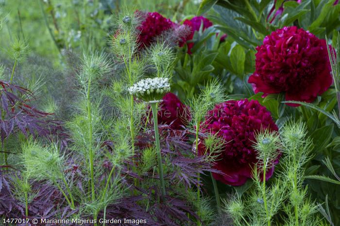 Paeonia 'Red Charm', Allium nigrum, Nigella damascena, acer