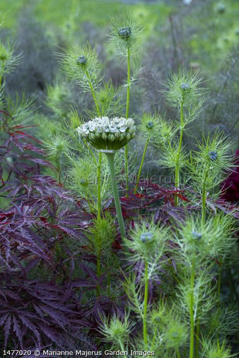 Allium nigrum, Nigella damascena, acer