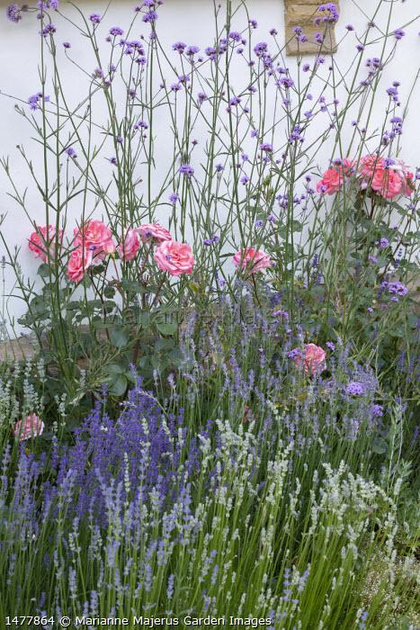 Rosa 'Kalinka', lavender, Verbena bonariensis