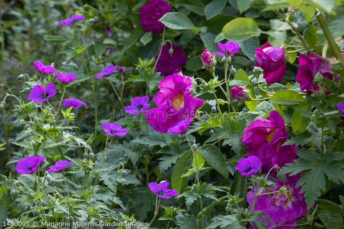 Rosa gallica var. officinalis, Geranium psilostemon