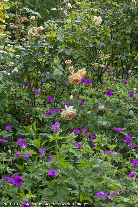 Rosa 'Bredon', Geranium psilostemon